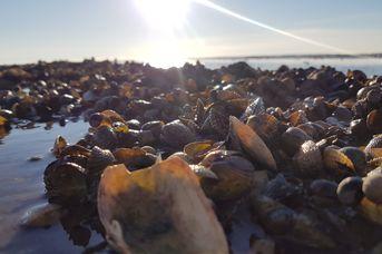 Wattwanderung zur Muschelbank